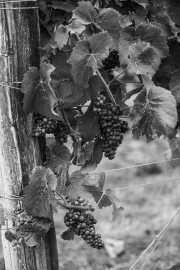 Eagle-Haven-Winery-Vineyard-Netting-August-2015-Russell-Chandler-Photographer-002