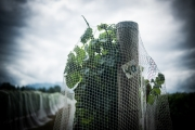 Eagle-Haven-Winery-Vineyard-Netting-August-2015-Russell-Chandler-Photographer-011