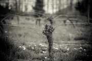 Eagle-Haven-Winery-Vineyard-Pruning-2015-Russell-Chandler-Photographer-004