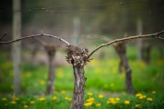 Eagle-Haven-Winery-Vineyard-Pruning-2015-Russell-Chandler-Photographer-008