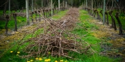 Eagle-Haven-Winery-Vineyard-Pruning-2015-Russell-Chandler-Photographer-020