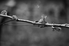 Eagle-Haven-Winery-Vineyard-April-2015-Russell-Chandler-Photographer-007