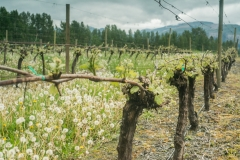 Eagle-Haven-Winery-Vineyard-April-2016-Russell-Chandler-Photographer-002
