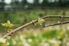 Eagle-Haven-Winery-Vineyard-April-2016-Russell-Chandler-Photographer-003