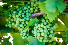 Eagle-Haven-Winery-Vineyard-August-2015-Russell-Chandler-Photographer-002