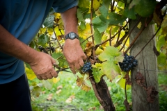 Eagle-Haven-Winery-Vineyard-Harvest-2015-Russell-Chandler-Photographer-007