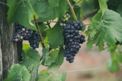 Eagle-Haven-Winery-Vineyard-Netting-August-2015-Russell-Chandler-Photographer-001