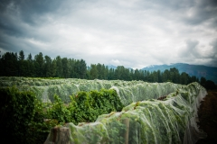 Eagle-Haven-Winery-Vineyard-Netting-August-2015-Russell-Chandler-Photographer-007
