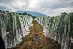 Eagle-Haven-Winery-Vineyard-Netting-August-2015-Russell-Chandler-Photographer-009