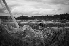 Eagle-Haven-Winery-Vineyard-Netting-August-2015-Russell-Chandler-Photographer-012