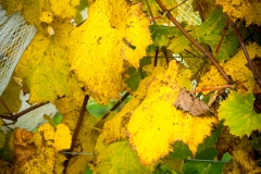 Eagle-Haven-Winery-Vineyard-October-2015-Russell-Chandler-Photographer-007