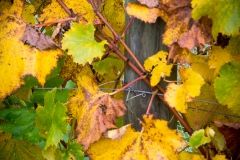 Eagle-Haven-Winery-Vineyard-October-2015-Russell-Chandler-Photographer-008