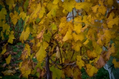 Eagle-Haven-Winery-Vineyard-October-2015-Russell-Chandler-Photographer-009