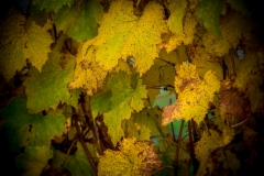 Eagle-Haven-Winery-Vineyard-October-2015-Russell-Chandler-Photographer-010