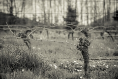 Eagle-Haven-Winery-Vineyard-Pruning-2015-Russell-Chandler-Photographer-006